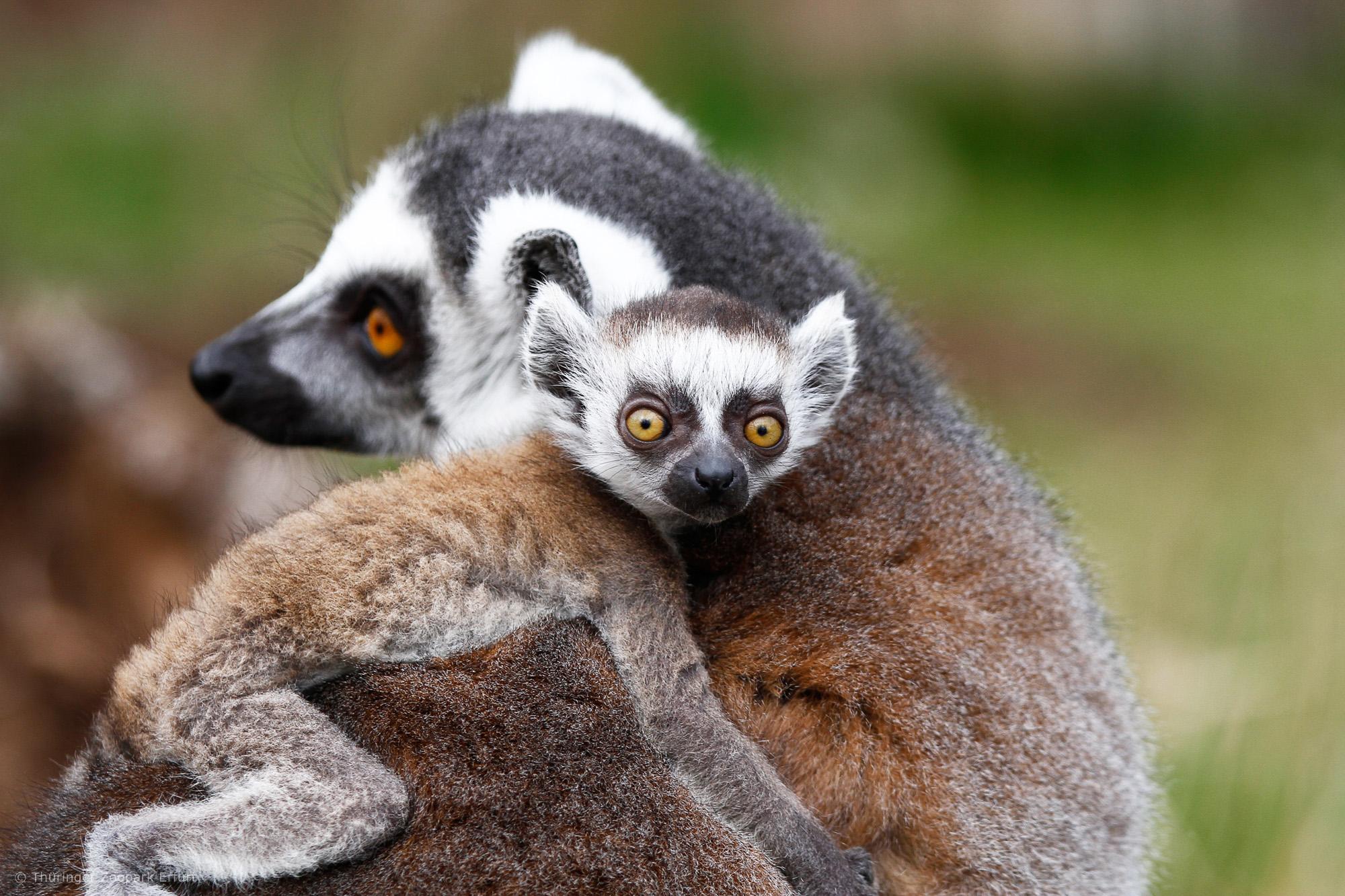 Im Zoopark Erfurt gibt es auch Lemuren!